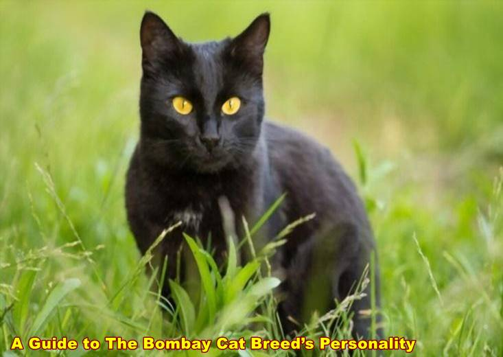 A Guide to The Bombay Cat Breed's Personality